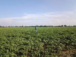 Okra Farm in Tarlac